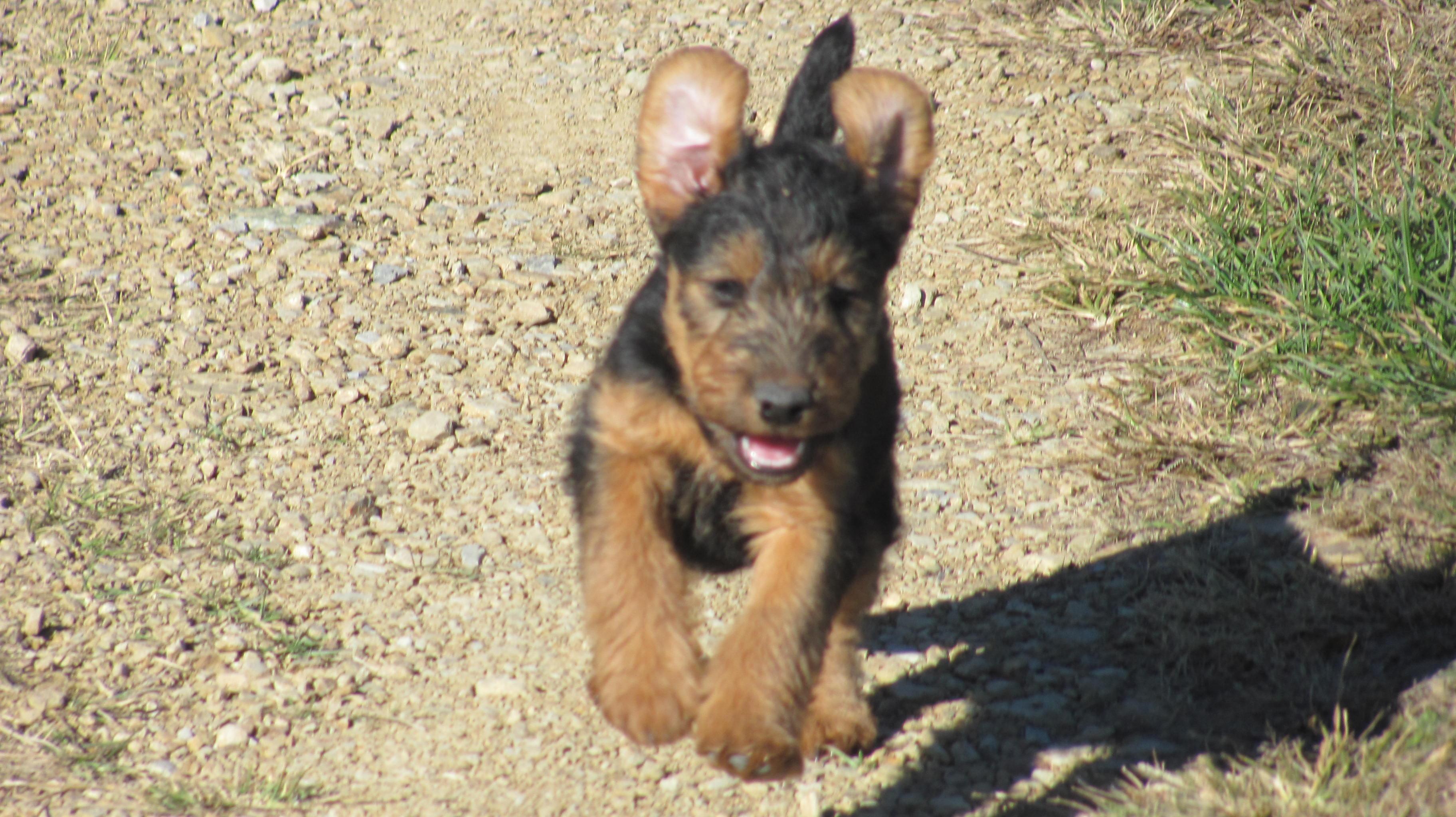 Price Of Welsh Terrier Welsh Terrier Price - ...